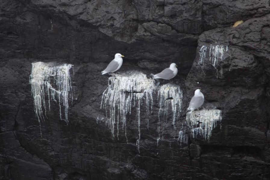 Gabbiani tra le rocce nere a Arnarstapi.