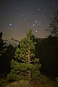 Giovane pino cembro e Orione